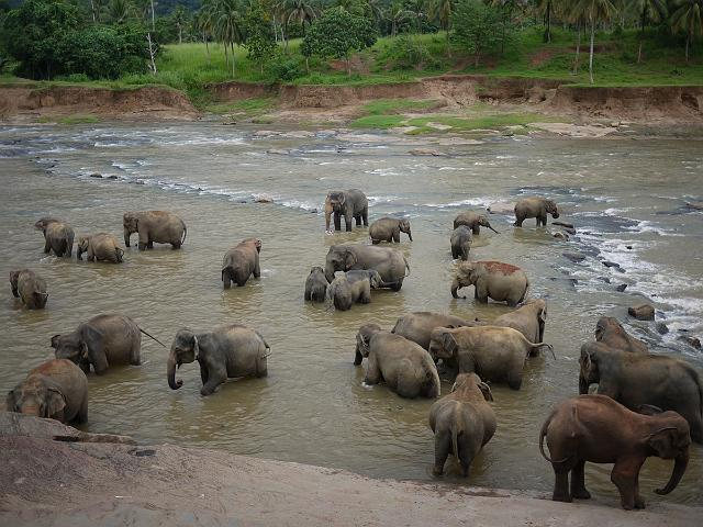 Bathing in the River, Pinnawela