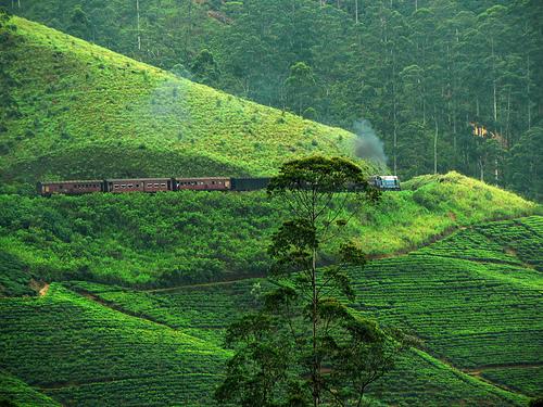 The tea Plantations