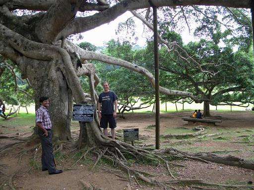 Checking out the huge Bejamina Tree (Ficus) at Peradeniya Gardens